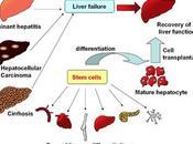 Stem cells regeneración hígado: función tejido adiposo formación stem
