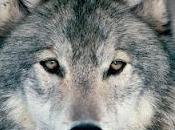 Slavc: lobo recorrido cuatro países meses quince curiosidades estos animales