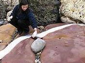 Graban medusa abisal gigante