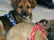 Preciosas cachorricas adopción (Murcia)