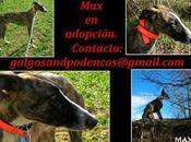 MAX, precioso galgo adopción.
