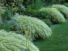 consejos expertos jardinería creciente Hakonechloa