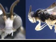 avispa nuevas especies curiosas 2011