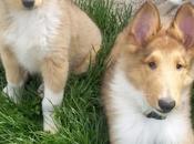 Collie, raza perro alguna famoso
