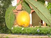 Maduración frutas algunos arboles frutales