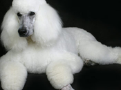 Amigables Perros Raza French Poodle Caniche