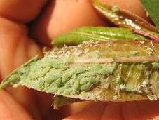 Plantas ayudan combatir plagas