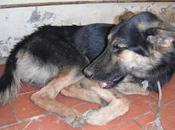 Precioso cachorro pastor aleman mandibula desencajada. Perrera Huelva.