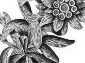 Flor Nacional Suiza, Edelweiss