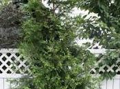 Thuja (standishii plicata)