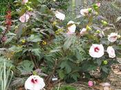 Cómo crecer Hibiscus Hardy Rose Mallow