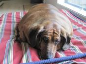 perro salchicha gordo mundo: pesa 35kg