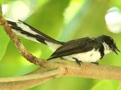 Birdwatching philippines-observando aves filipinas
