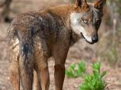 cupo Lobos podrán matar Norte Duero
