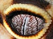 Ojos geckos