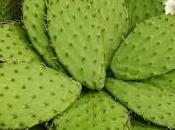 Nopal cactus para diabetes
