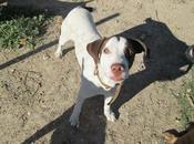 Boomer, impresionante cachorro braco busca acogida adopción urgente. (valencia)