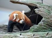 Pandas rojos singapur