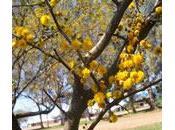 Espinillo, árbol medicinal grandes espinas