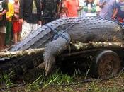 Muere Filipinas cocodrilo grande mundo (vídeos)