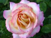 Canciones encadenadas VIII: Rosa