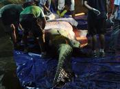 Realizan autopsia cocodrilo gigante Lolong