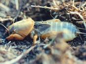 plaga alacrán cebollero grillotopo