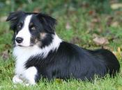 Collie, raza perros escocesa