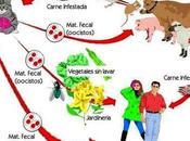 ¿Cómo prevenir toxoplasmosis?