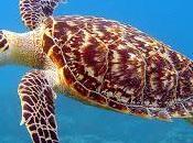 Tortugas Carey Sorprendente Vida Sexual