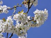 Valle Jerte: cerezos flor