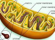 Funciones mitocondria, algunas generalidades