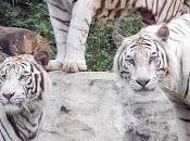 Misterio Resuelto sobre Tigre Blanco