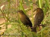 Varillero congo (Chestnut capped blackbird) Agelaius ruficapilus