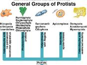 Protista, reino antinatural