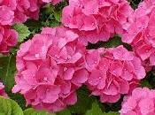 hortensias geranios