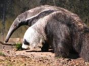¿Por osos hormigueros gigantes tienen pandas patas?