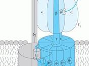 Estructura dominios síntesis mitocondria