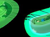 Introducción cloroplastos cianobacterias