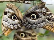 Mariposas buho (por ocelos alas)
