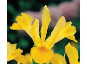Cómo plantar bulbos iris jardín