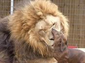 Milo, perro salchicha capaz limpiarle dientes león