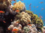 Dedicada restauración arrecifes caribe colombiano