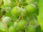 oidio viña