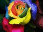 Rosa Arcoiris flor cautiva colores