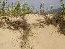 Vegetación psamófila dunas costeras