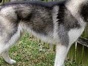Razas perros: Alaskan Malamute