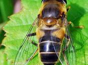 Mosca disfrazada abeja
