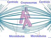 Microtúbulos polares