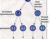 Espermatogénesis humana